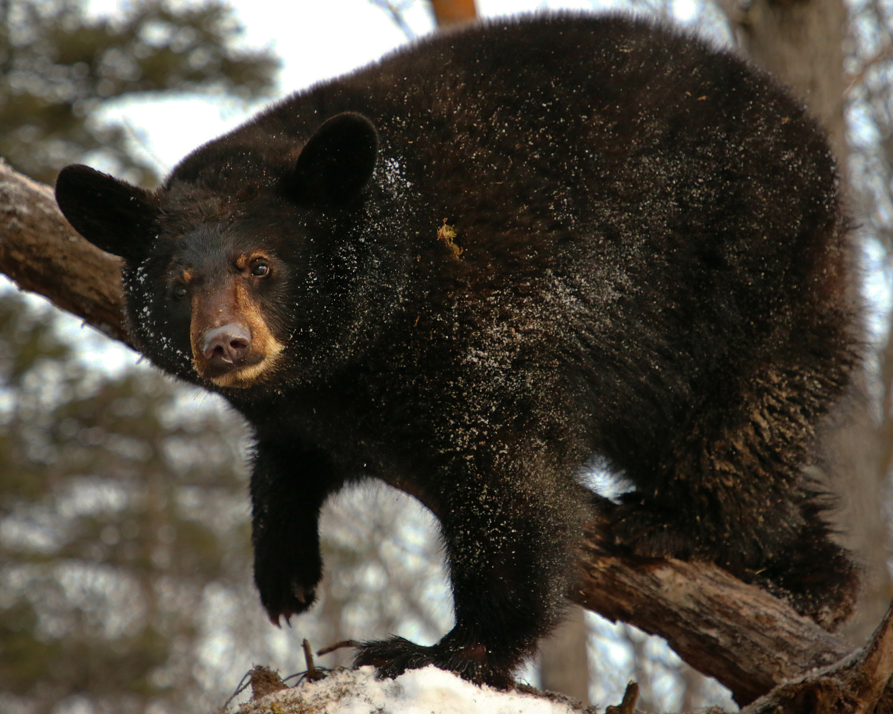 Bear With Us Living With Bears in the North Country