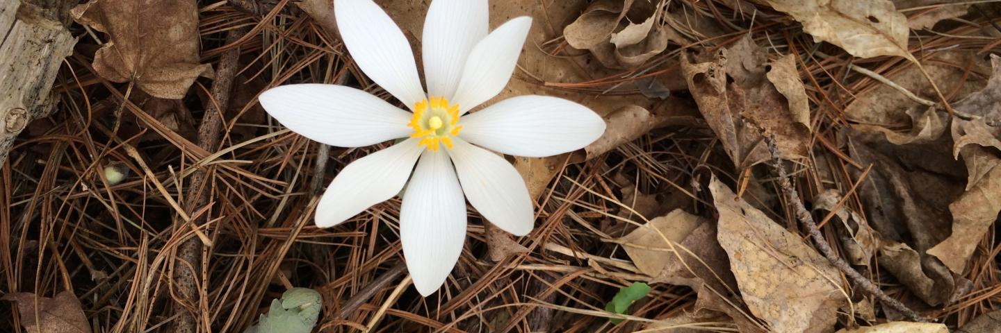 photo of woodland anemone